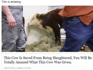Cow leg